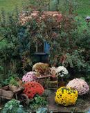details zu 0003121605 garten sch ne ecken im herbstgarten zier pfel chrys schubk djv. Black Bedroom Furniture Sets. Home Design Ideas