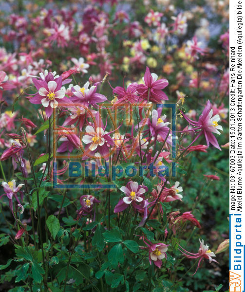 details zu 0003167003 akelei blume aquilegia im garten schattengarten djv bildportal. Black Bedroom Furniture Sets. Home Design Ideas