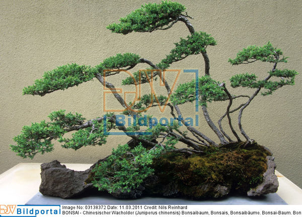 details zu 0003138372 bonsai chinesischer wacholder juniperus chinensis djv bildportal. Black Bedroom Furniture Sets. Home Design Ideas