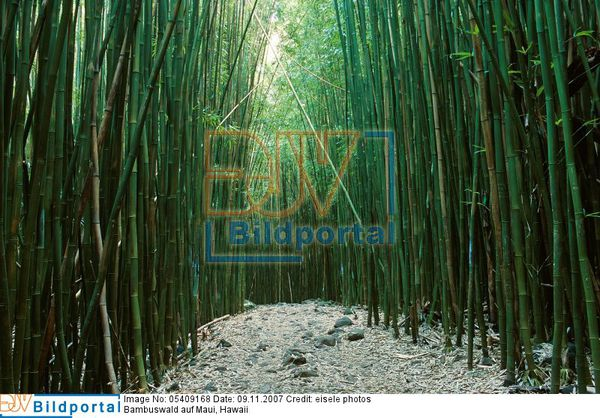 Details Zu 0005409168 Bambuswald Auf Maui Hawaii Djv Bildportal