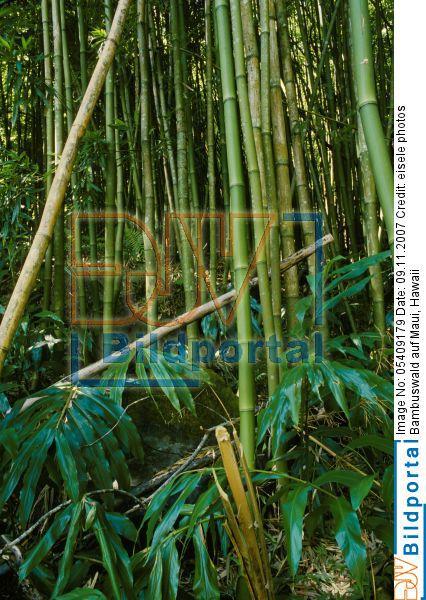 Details Zu 0005409179 Bambuswald Auf Maui Hawaii Djv Bildportal