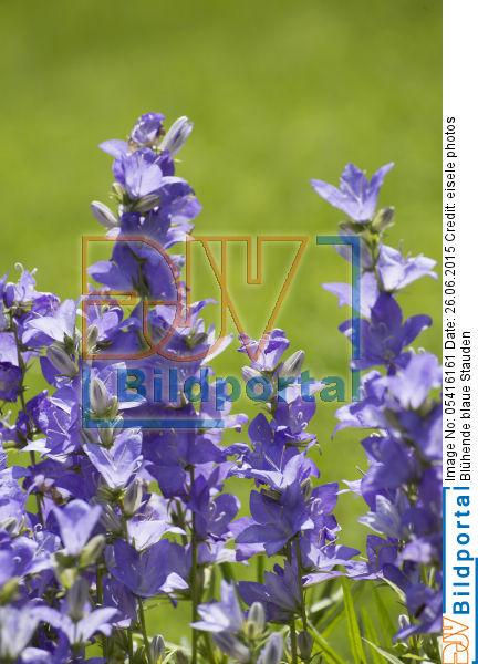 Details Zu 0005416161 Bluhende Blaue Stauden Djv Bildportal