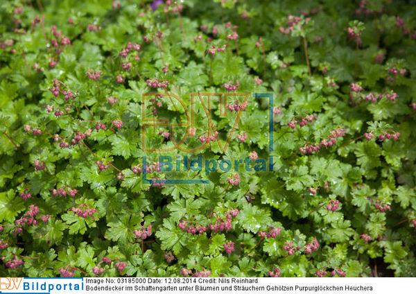 Details Zu 0003185000 Bodendecker Im Schattengarten Unter Baumen