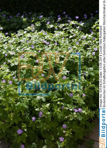 Details Zu 0003184292 Bodendecker Im Schattengarten Unter