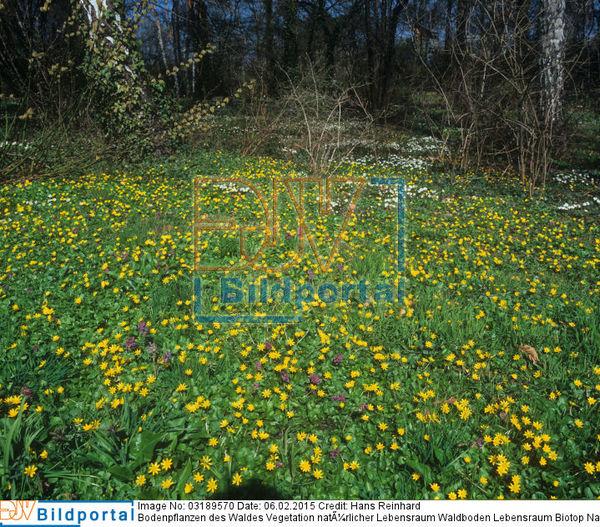 Details Zu 0003189570 Bodenpflanzen Des Waldes Vegetation
