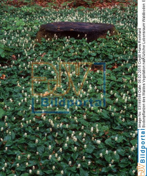 Details Zu 0003189588 Bodenpflanzen Des Waldes Vegetation