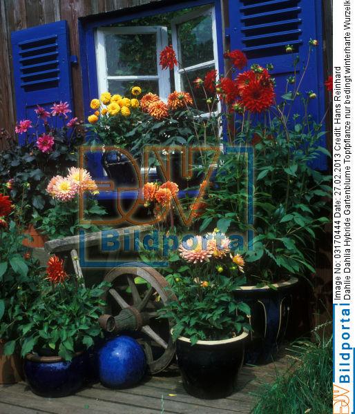 details zu 0003170444 dahlie dahlia hybride gartenblume topfpflanze nur bedingt winterharte On winterharte topfpflanze