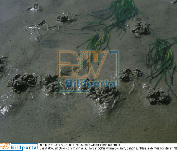 e6b2c66130c87d Details zu  0003172407 - Der Wattwurm (Arenicola marina)