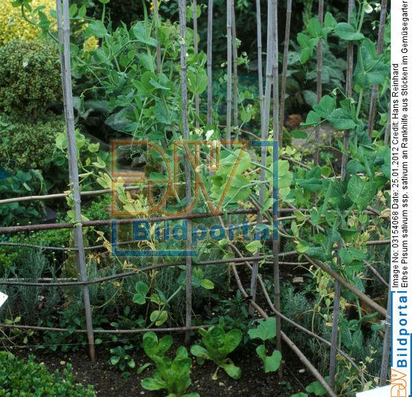 details zu 0003154068 erbse pisum sativum ssp sativum. Black Bedroom Furniture Sets. Home Design Ideas