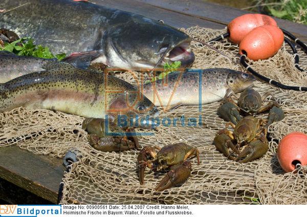 Details zu 0000900561 fische in bayern djv bildportal for Heimische fische