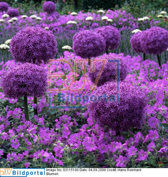 garten blumen lila, details zu #0003115100 - gartenblumen in lila, zierlauch und, Design ideen