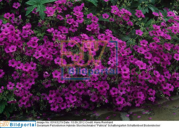 Details Zu 0003163279 Geranium Psilostemon Hybride Storchschnabel