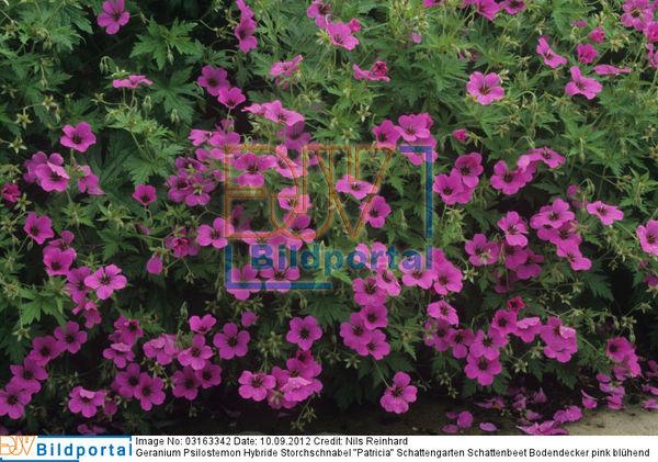 details zu 0003163342 geranium psilostemon hybride. Black Bedroom Furniture Sets. Home Design Ideas