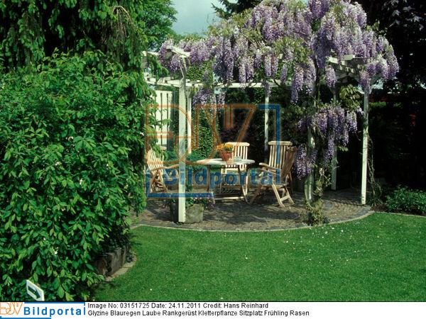 details zu 0003151725 glyzine blauregen laube rankger st djv bildportal. Black Bedroom Furniture Sets. Home Design Ideas