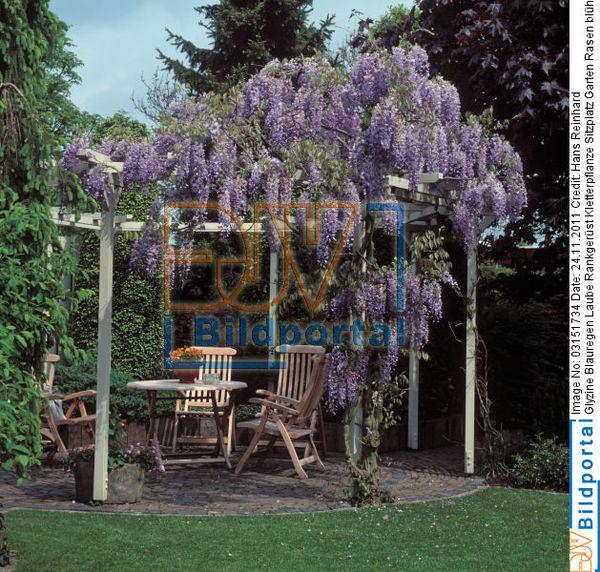 details zu 0003151734 glyzine blauregen laube rankgerp st djv bildportal. Black Bedroom Furniture Sets. Home Design Ideas