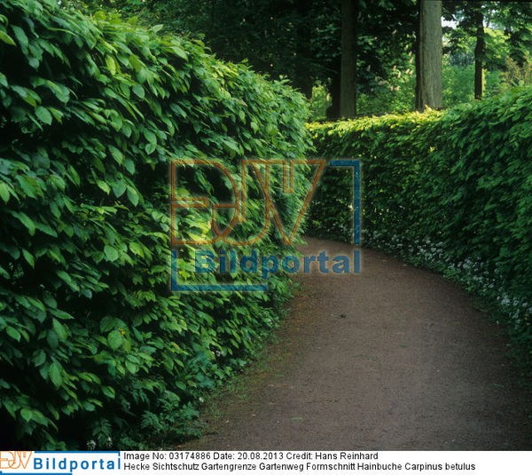 details zu 0003174886 hecke sichtschutz gartengrenze gartenweg formschnitt hainbuche carpinus. Black Bedroom Furniture Sets. Home Design Ideas