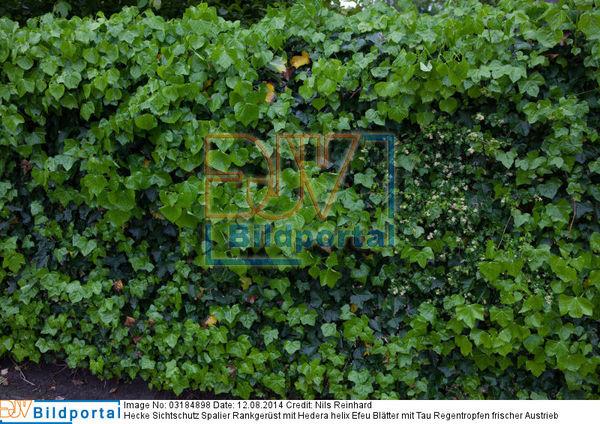 Details Zu 0003184898 Hecke Sichtschutz Spalier Rankgerust Mit