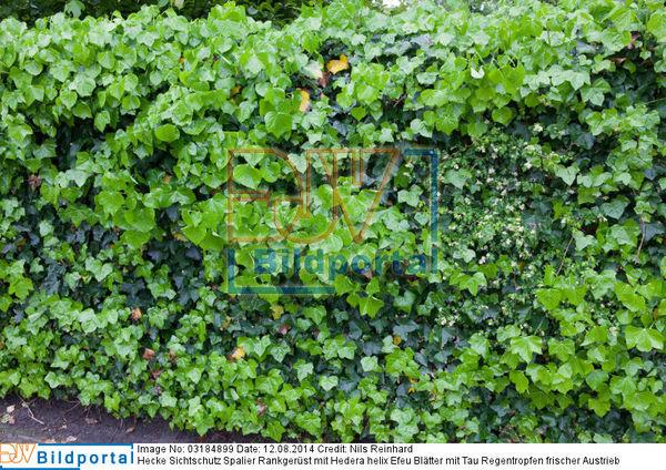 Details Zu 0003184899 Hecke Sichtschutz Spalier Rankgerust Mit