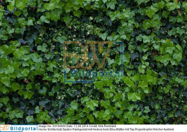 Details Zu 0003184900 Hecke Sichtschutz Spalier Rankgerust Mit