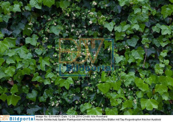Details Zu 0003184901 Hecke Sichtschutz Spalier Rankgerust Mit
