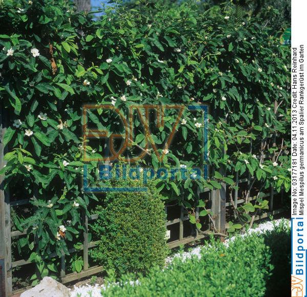 details zu 0003177181 mispel mespilus germanicus am. Black Bedroom Furniture Sets. Home Design Ideas