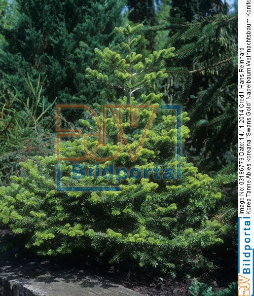 details zu 0003186779 nadelbaum weihnachtsbaum konifere. Black Bedroom Furniture Sets. Home Design Ideas