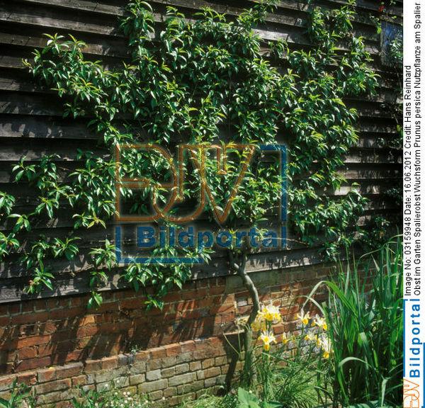 details zu 0003159948 obst im garten spalierobst wuchsform pfirsich prunus persica. Black Bedroom Furniture Sets. Home Design Ideas