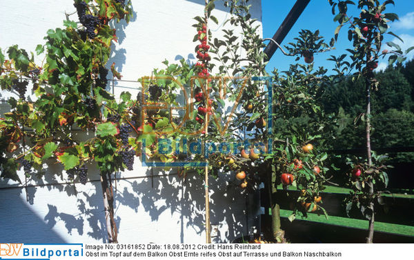 Details Zu 0003161852 Obst Im Topf Auf Dem Balkon Obst Ernte