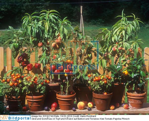 details zu 0003192749 obst und gem se in topf und k bel auf balkon und terrasse kiwi tomate. Black Bedroom Furniture Sets. Home Design Ideas