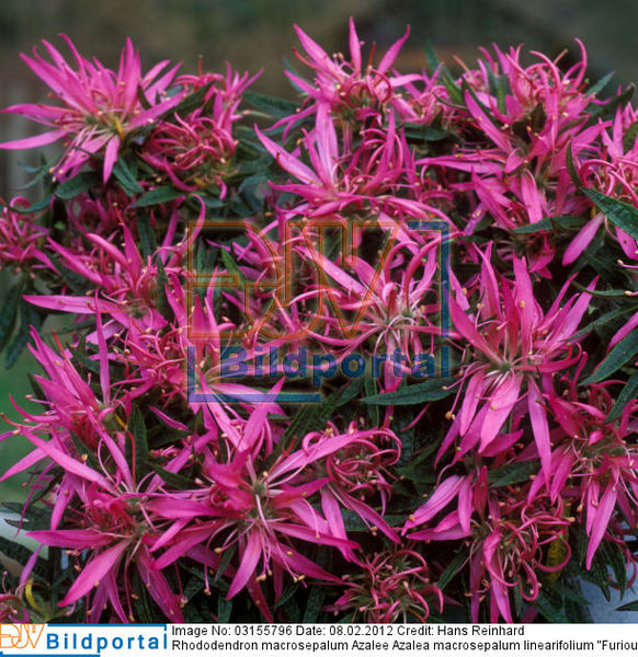 details zu 0003155796 rhododendron macrosepalum azalee. Black Bedroom Furniture Sets. Home Design Ideas