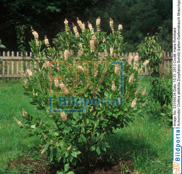 Details Zu 0003166636 Scheineller Clethra Alnifolia Zierpflanze