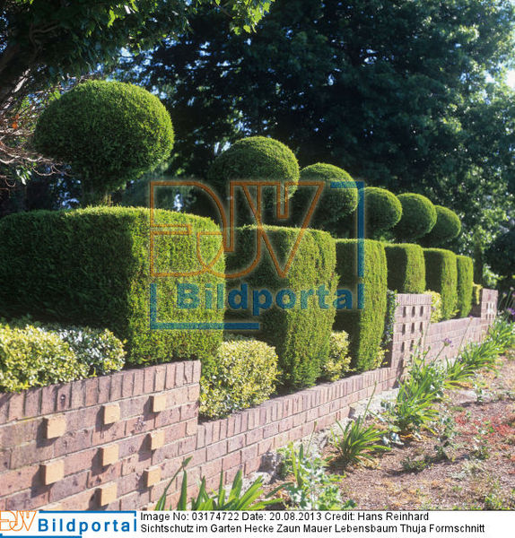 details zu 0003174722 sichtschutz im garten hecke zaun mauer lebensbaum thuja formschnitt. Black Bedroom Furniture Sets. Home Design Ideas