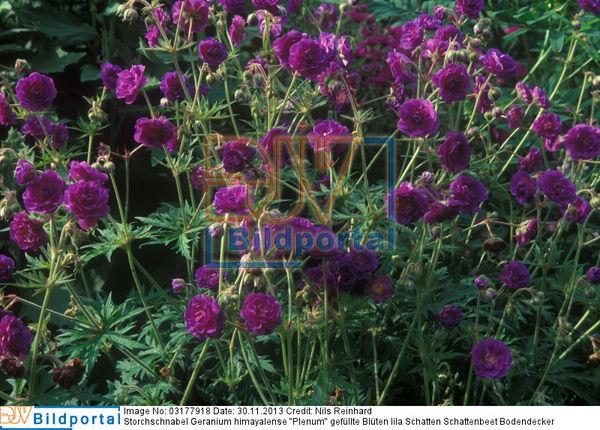 details zu 0003177918 storchschnabel geranium. Black Bedroom Furniture Sets. Home Design Ideas