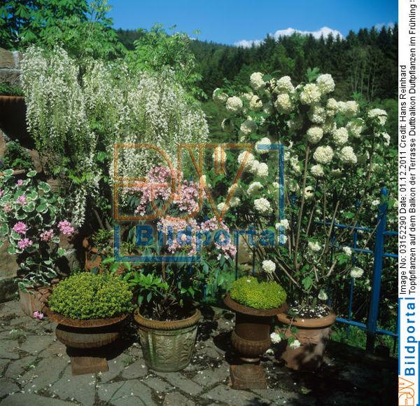 details zu 0003152290 topfpflanzen auf dem balkon der terrasse duftbalkon duftpflanzen im. Black Bedroom Furniture Sets. Home Design Ideas