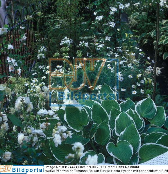 details zu 0003174474 wei e pflanzen an terrasse balkon funkie hosta hybride mit. Black Bedroom Furniture Sets. Home Design Ideas